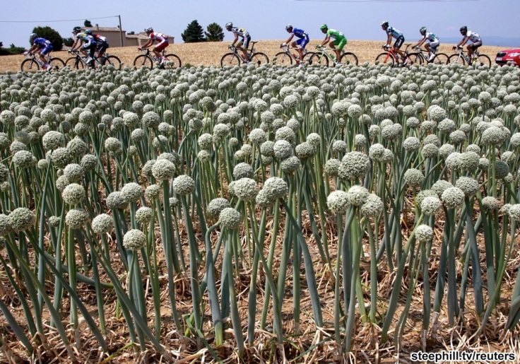 A break away group cyclespast an oignons field during the 242.5 km fifteenth stage of the centenary Tour de France cycling race from Givors to Mont Ventoux