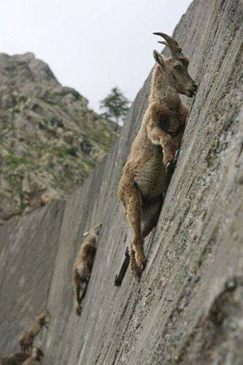 wall-climbing-mountain-goats
